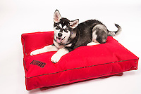 Malamute atop a Kong bed by Dog Gone Smart Pet Products