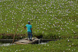July 3, 2017 - Aceh Besar, Aceh, Indonesia - A resident cleans water hyacinth (Eichhornia crassipes) that meets the river in Aceh Besar, Aceh Province, Indonesia. Plants hyacinth that cover the river body makes it difficult for people to catch fish in the river. (Credit Image: © Abdul Hadi Firsawan/Pacific Press via ZUMA Wire)