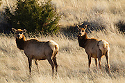 Cow Elk in central Montana
