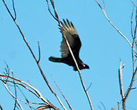 Turkey Vulture (Cathartes aura). Fort De Soto Park. Pinellas County, Florida. Image taken with a Nikon D300 camera and 600 mm f/4 VR lens.