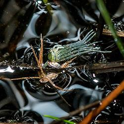 """""""Aranha (Aracnídeo) fotografado em Guarapari, município do estado do Espírito Santo -  Sudeste do Brasil. Bioma Mata Atlântica. Registro feito em 2018.<br /> ⠀<br /> ⠀<br /> <br /> <br /> <br /> <br /> ENGLISH: Spider photographed in Guarapari, in Espírito Santo - Southeast of Brazil. Atlantic Forest Biome. Picture made in 2018."""""""