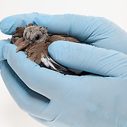 """A young pigeon being handled by a man wearing surgical gloves. Photographed in front of a white backdrop, but not """"cut out"""" with software."""