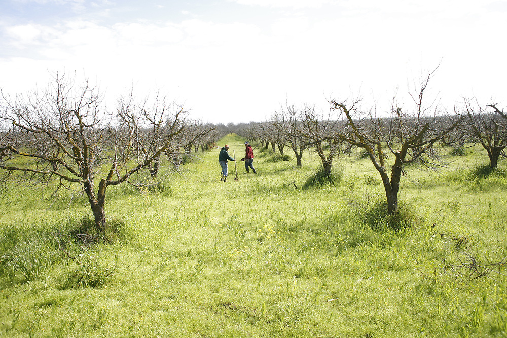 Farmworkers plant new plum trees near Gridley, California on March 11, 2010. This region of California, between Sacramento and Chico, is responsible for nearly all of the plum and prune production in the United States.<br /> <br /> (https://www.cdfa.ca.gov/statistics/PDFs/2015Report.pdf)