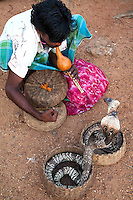 Snake Charmer at Galle Face - Snake charming is the practice of hypnotising a snake by playing an instrument. The practice is most common in India, though other Asian nations such as Sri Lanka also sees its share of performers.  Many snake charmers live a wandering existence, visiting towns and villages on market days and during festivals. With a few rare exceptions, however, they typically make every effort to keep themselves from harm's way. For one, the charmer typically sits out of biting range, and his animal is sluggish and reluctant to attack anyway