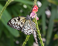 Black and white Butterfly preparing to sip nectar.