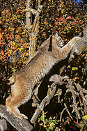 Lynx climbing old tree, Idaho. [This animal was born and raised in captivity, photographed in an outdoor setting in Idaho.] © David A. Ponton