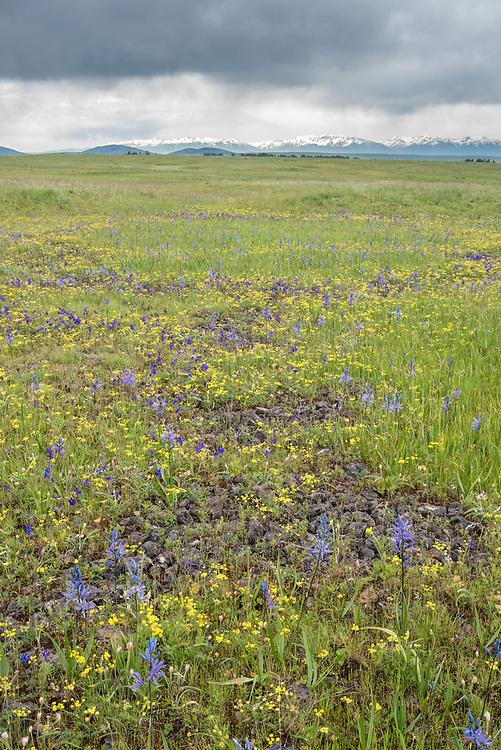 Wildflowers on the Zumwalt Prairie in Northeast Oregon.