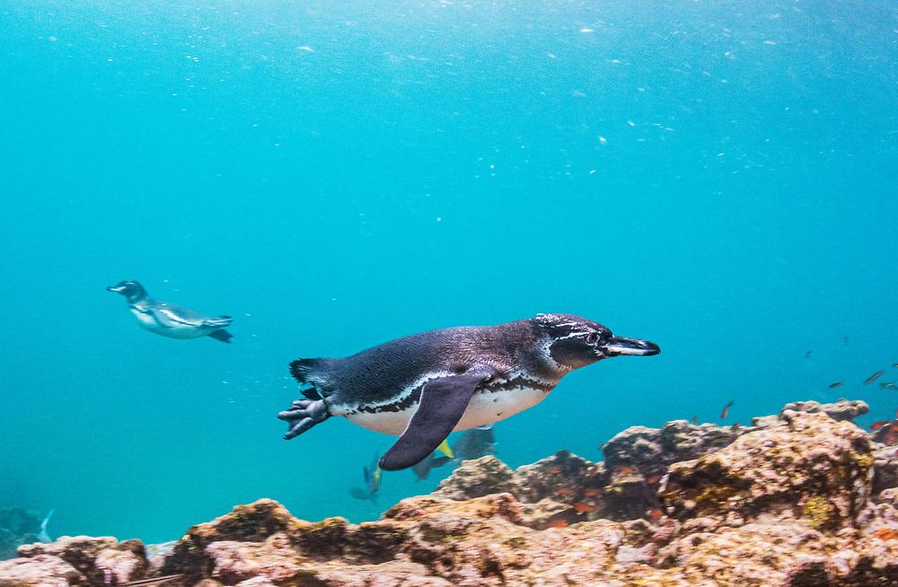 Galapagos penguin (Spheniscus mendiculus) hunting off Bartolome Islet, Santiago Island, Galapagos, Ecuador.