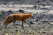 Wildlife - Fox