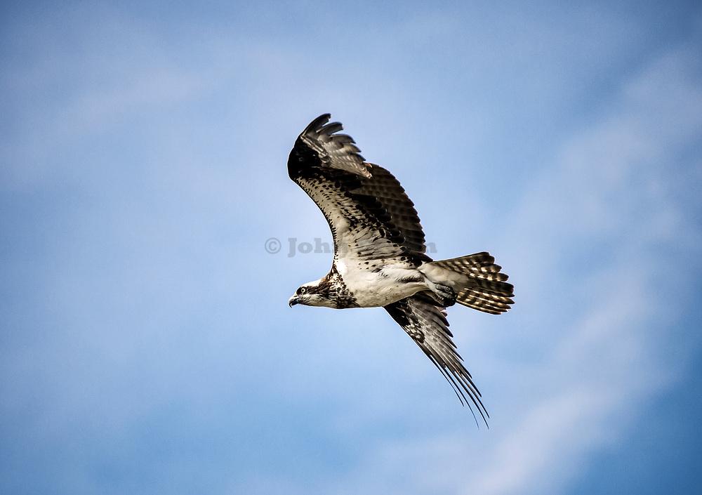 Osprey in flight, Delaware.