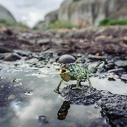 Camaleão (Chamaeleo dilepis) nas emblemáticas Pedras Negras de Pungo Andongo (Pungoandongo) ao final de tarde e depois de uma chuva abundante. Província de Malange em Angola