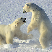 Polar Bear (Ursusi maritimus) adults fighting in the snow of Wager Bay, Canada.