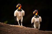 King Vulture (Sarcoramphus papa)<br /> Rainforest<br /> Rewa River<br /> GUYANA. South America<br /> RANGE: Central & South America