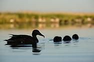 Mallard duck, Anas platyrhynchos, female with chicks, at Pusztaszer Protected Landscape, Kiskunsagi, Hungary