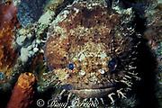 large eye toadfish, Batrachoides gilberti, or Pacuma toadfish, Batrachoides surinamensis, Cozumel Island, Mexico ( Caribbean Sea )