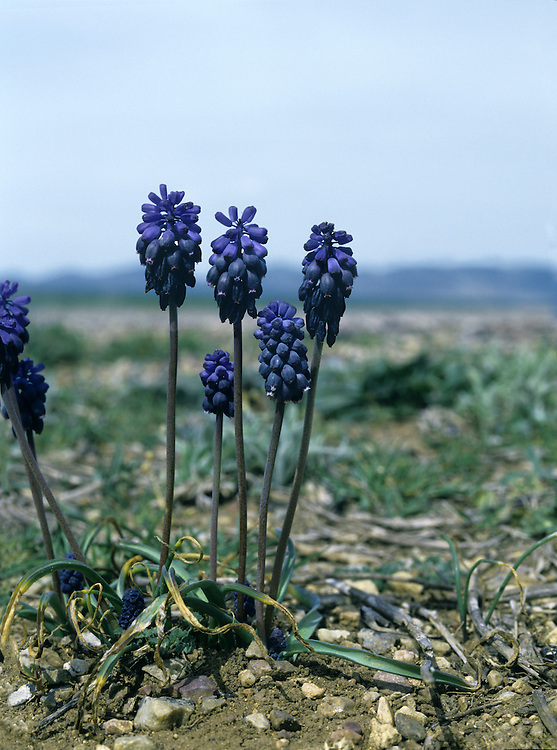 GRAPE-HYACINTH Muscari armeniacum (Height to 25cm) is often grown in gardens but is also thought to be native to Britain at a few Breckland sites. The leaves are narrow, bright green and basal, and the flowers are blue, egg-shaped and borne in conical spikes, 3-4cm long (Apr-May).
