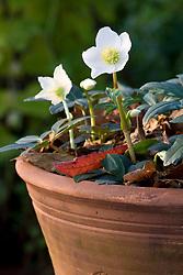 Helleborus niger in a terracotta pot