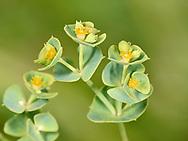 Portland Spurge - Euphorbia portlandica