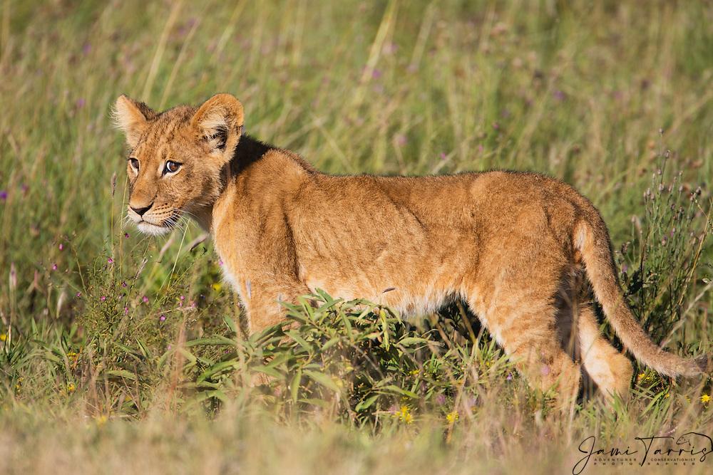 A young lion cub (Panthera leo) walking in the tall grass of the Kalahari during the wet season,Kalahari, Botswana, Africa