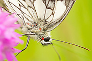 Parasites on marbled white butterfly. Nr. Dorking, Surrey, UK.