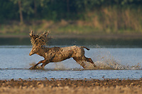 Père David's deer, or Milu, Elaphurus davidianus, stag running through the water of the Yangtze river in Hubei Tian'ezhou Milu National Nature Reserve, Shishou, Hubei, China. The dominant harem-keeping stag in the herd.