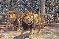 Lion At Blantyre Zoo