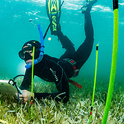 Marine Biologist Olivia Rhoades tends to her experiment on seagrass predators and scavengers in The Bahamas.
