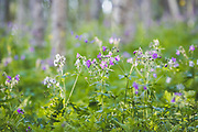 Blooming Wild Crane's-bill | Looking at forest undergrowth, Norway