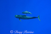 short-finned pilot whales, Globicephala macrorhynchus, mother and calf, south Kona Coast, Hawaii, U.S.A. ( Central Pacific Ocean )