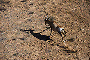 Red Hartebeest (Alcelaphus buselaphus)<br /> Private game ranch<br /> Great Karoo<br /> SOUTH AFRICA
