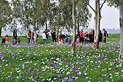 Israel, A field of spring wildflowers Anemone coronaria (Poppy Anemone). This wildflower can appear in several colours. Mainly red, purple, blue and white. A group of local people admire the field