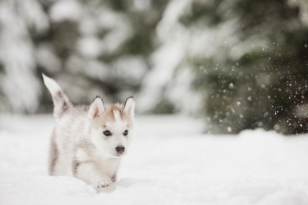 Siberian Husky Puppy walking in the snow