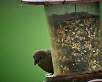 Brown-headed Cowbird at a birdfeeder. Image taken with a Nikon D5 camera and 600 mm f/4 VR lens (ISO 1600, 600 mm, f/5.6, 1/800 sec).