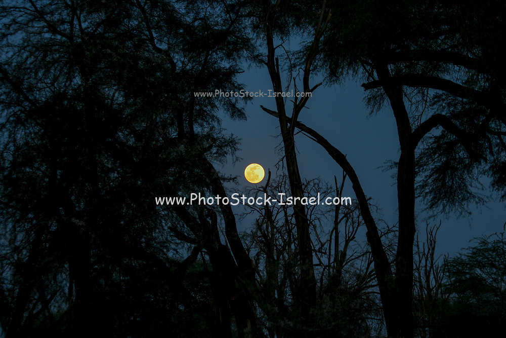 Full African Moon rising behind silhouetted trees at night. Photographed in Kenya