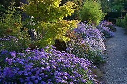 Border of asters with Aster x frikartii 'Jungfrau' in the foreground