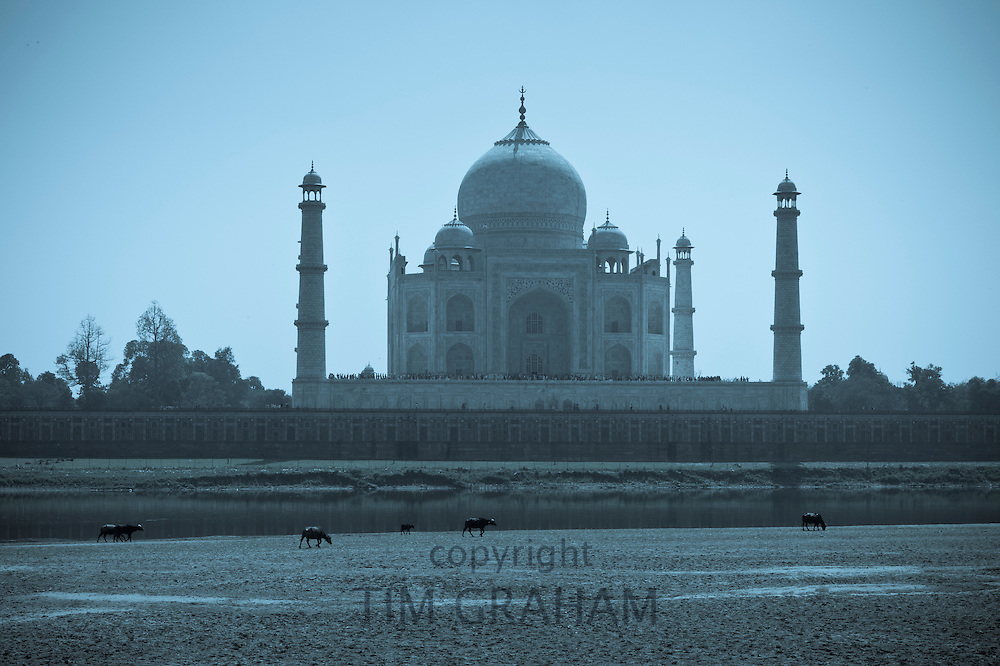 The Taj Mahal north side viewed from Agra Fort in late afternoon with buffalo grazing in foreground, India