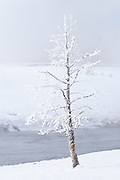 Winter scenics in Yellowstone National Park, frosted tree along the Firehole River