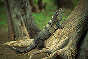 Spinytail iguana (Ctenosaura pectinata), tropical rainforest in Costa Rica.