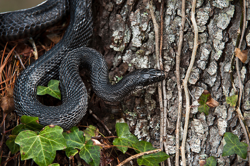 Black Rat Snake (Elaphe obsoleta)<br /> CAPTIVE<br /> USA<br /> HABITAT & RANGE: Wooded areas. Hibernates in dens with copperheads and timber rattlesnakes.  Throughout Eastern and Central USA and Lower Ontario, Canada.