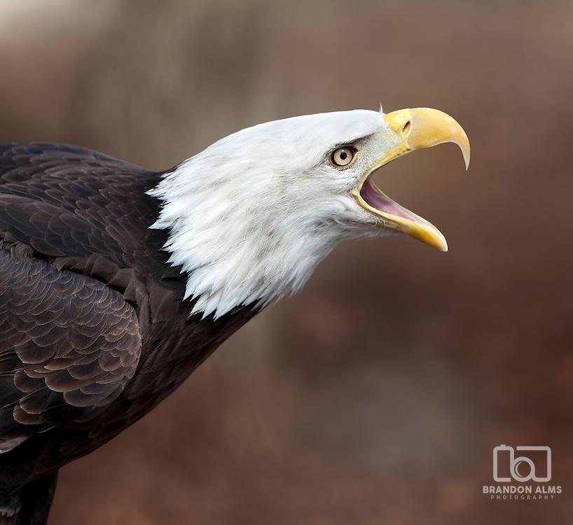 A close up shot of a Bald Eagle (Haliaeetus leucocephalus) calling out.