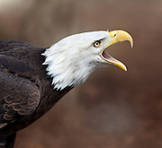 A close up shot of a Bald Eagle (Haliaeetus leucocephalus) calling out.