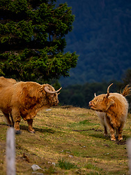 Highland cattle's on meadow near Auberge du Steinlebach, France