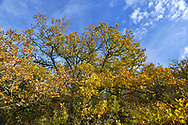 Mature autumn Oak on woodland boundary, Stoke Wood, Oxfordshire.