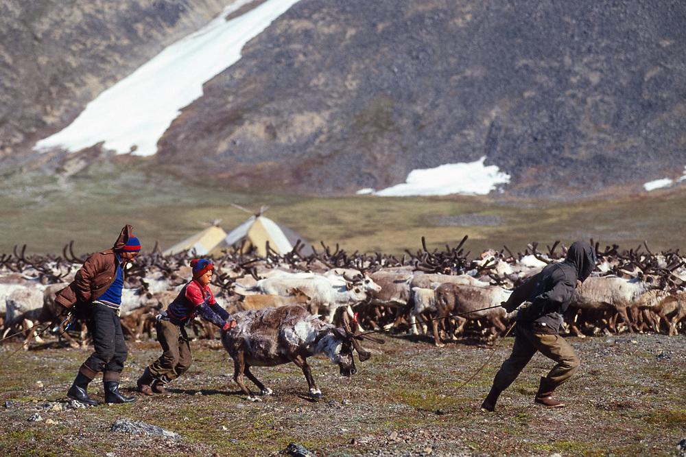 Helpers drag reindeer to the perimeter, Val 'karvaam Valley Chukotsk Peninsula, Northeast  Russia