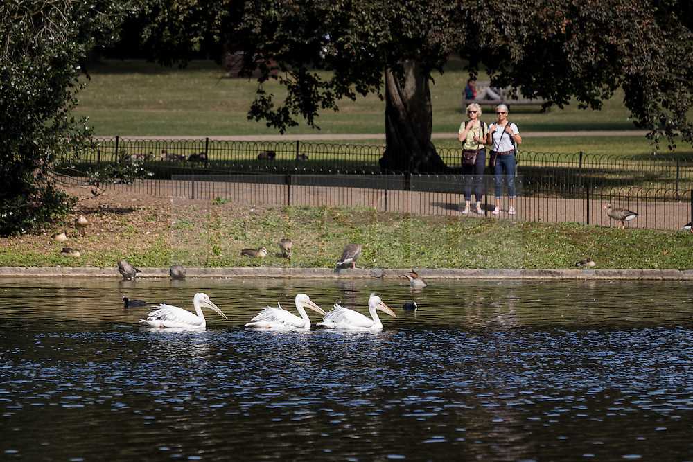© Licensed to London News Pictures. 12/08/2016. LONDON, UK.  People watch the pelicans swimming on the lake during the hot and sunny weather today in St James's Park in London.  Photo credit: Vickie Flores/LNP