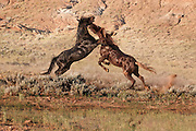 A pair of wild mustangs fighting at a water hole in the badlands of northern Wyoming.