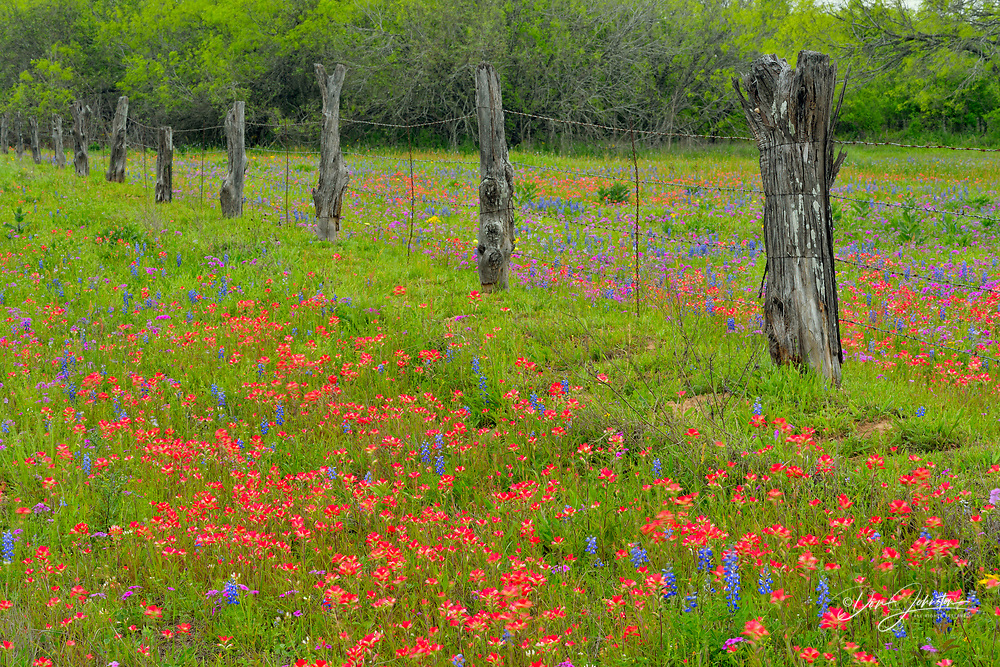 Texas wildflowers in bloom- paintbrush, phlox and bluebonnets, Seguin, Texas, USA