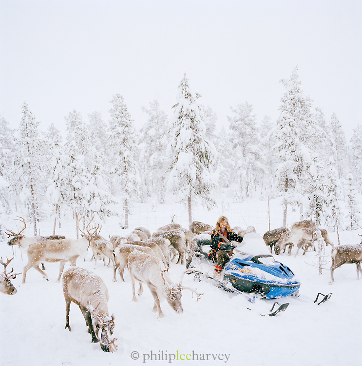 A Sami man on snowmobile with a herd of reindeer in the forest of Lapland, Sweden