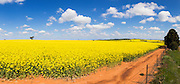 Flowering canola crop in farm paddock under blue sky and cumulus clouds at Junee, New South Wales, Australia. <br /> <br /> Editions:- Open Edition Print / Stock Image
