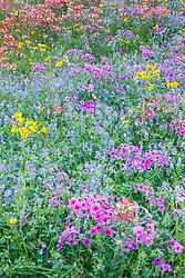 Wildlfowers in field, near New Berlin Texas, near San Antonio, USA.